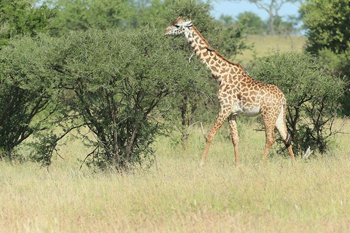 【尚·博览】坦桑尼亚、肯尼亚11天*游猎东非*广州往返<游猎马赛马拉、塞伦盖蒂,登恩戈罗火山口,船游纳瓦沙湖,烤肉餐厅百兽宴>