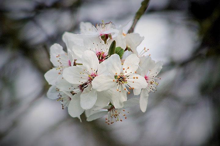 【花城看花】从化1天*天适樱花园赏樱花*美丽乡村莲麻小镇<含餐>